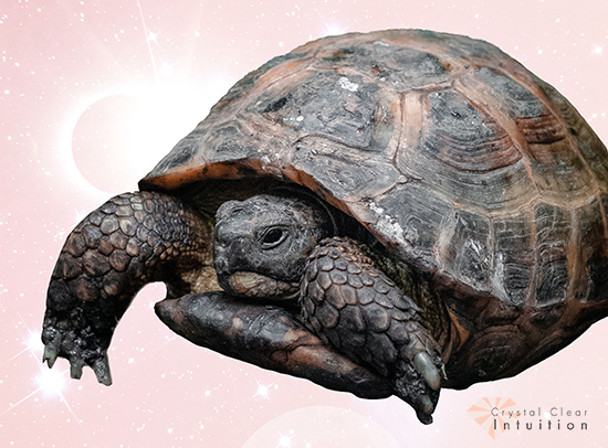 Resting turtle with a pink background.