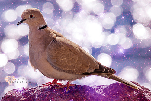 Grey dove with stars and shimmers in the background